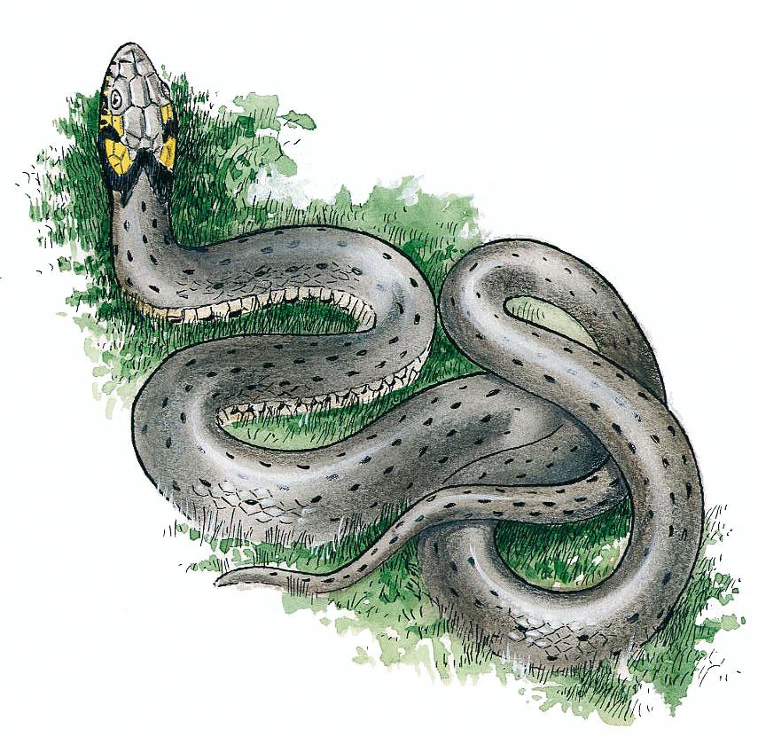 Conception graphique illustration couleur serpent