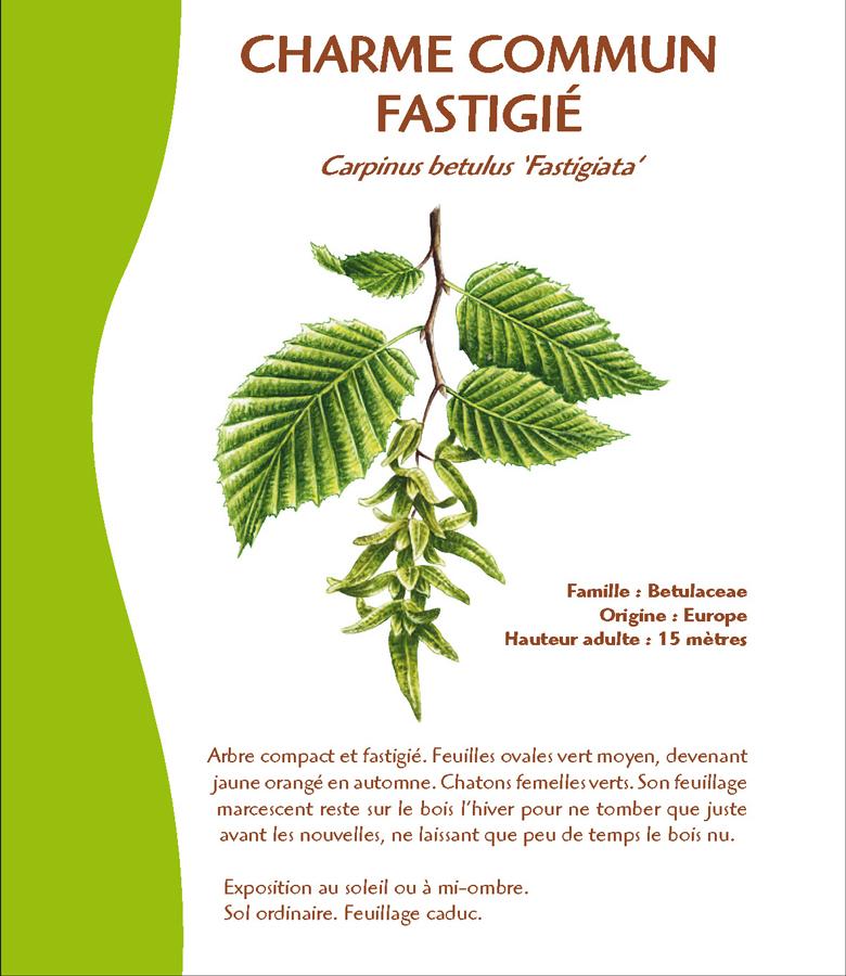 Conception graphique arboretum charme commun fastigié